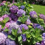 How to Grow Hydrangeas in a Pot