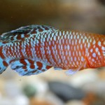 How to Breed Different Kinds of Killifish