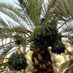 How to Take Fruit from a Date Palm Tree