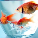 How To Feed A Healthy Diet For Goldfish