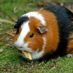 How to Hunt for a Veterinarian for your Guinea Pigs