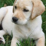 How to Look after Labrador Puppies