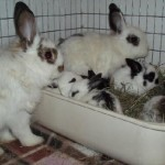 How to Train a Rabbit to Litter in Litter Box