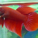How to Bring up Siamese Fighting Fish (Betta Fish)
