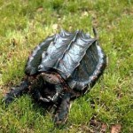 How to Raise a Snapping Turtle