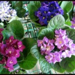 How to Water African Violets