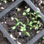 How to Grow Herbs from Seed