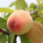How to Grow Peaches and Nectarines