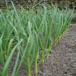 How to Grow Spring Onions (Scallions)