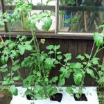 How to Grow Tomatoes in Your Greenhouse