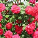 How to Trim a Rose Bushes