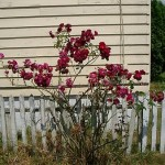 How to Tell if a Rose Bush is dead