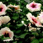 How to Transplant and Care for Hibiscus With Ease